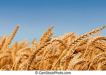 Golden wheat field under a blue sky