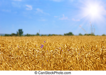 Golden wheat field under sunny blue  sky
