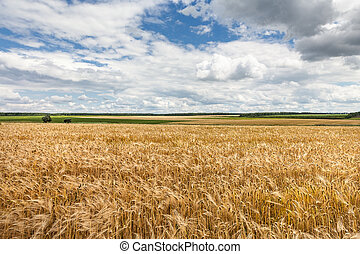 Golden wheat field with blue sky background