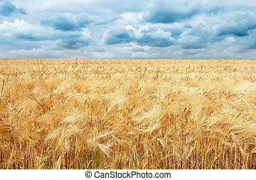 golden wheat field with dramatic storm clouds