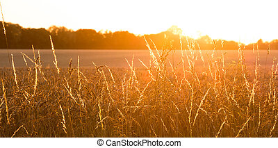 golden wheat field with sunrays panorama - golden wheat...