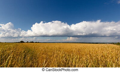 Golden wheat field,clouds, blue sky
