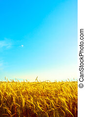 Golden Wheat - golden wheat field with blue sky background
