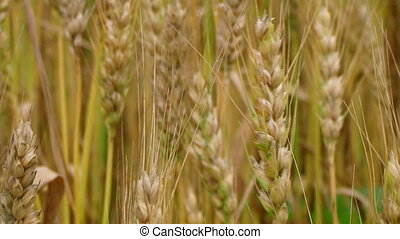 Golden Wheat Heads - Golden wheat heads, macro.