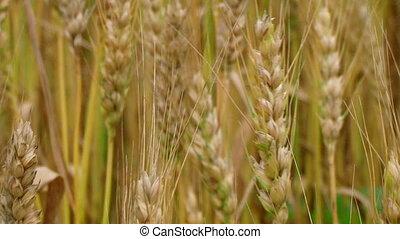 Golden Wheat Heads