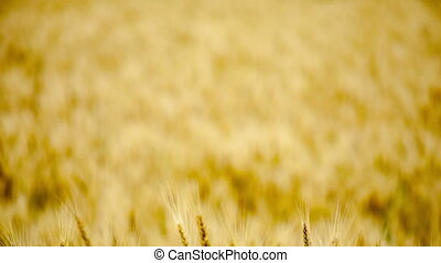 golden wheat in a field day