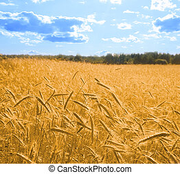 golden wheat in the blue sky 2 square - golden wheat in the...