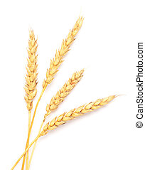 wheat - golden wheat isolated on white