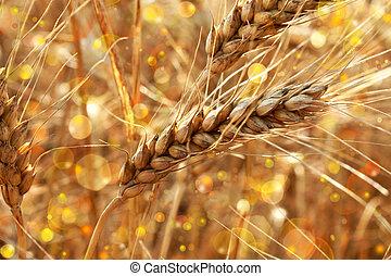 golden wheat spikes shining in the sunlight