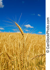 Wheat in a field with blue sky, shallow depth of field.