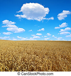 golden wheat with blue sky