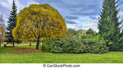 Golden willow tree Salix fragilis Globosa in autumn city park