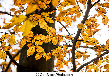 Golden yellow autumn beech leaves on a tree