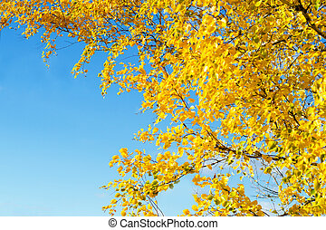 Golden yellow autumn leaves of birch on a background of blue...