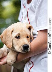 Golden Yellow Lab Puppy