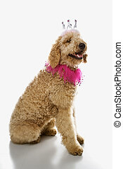 goldendoodle, chodząc, costume., pies