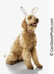 Goldendoodle dog in rabbit ears.