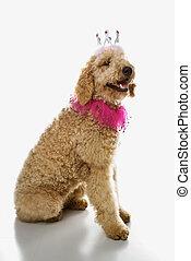 Goldendoodle dog wearing costume.