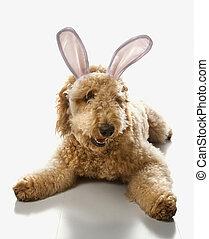 goldendoodle, hund, in, kaninchen, ears.