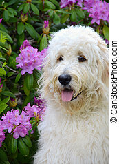 Goldendoodle in rhododendrons - Golden doodle in summer...
