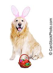 goldener apportierhund, angekleidet, als, kaninchen, mit, osterkorb