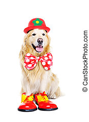 goldener apportierhund, angezogene , als, clown
