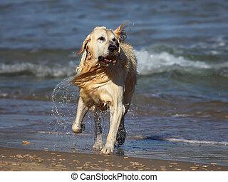 goldener apportierhund