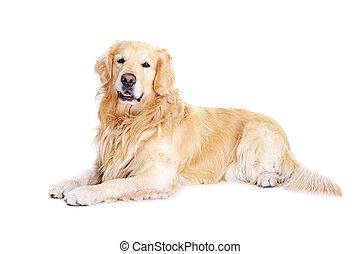 goldener apportierhund, boden