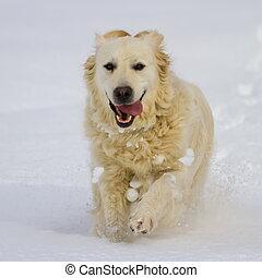 goldener apportierhund, hund, rennender , in, der, schnee