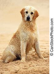 goldener apportierhund, hund, sitzen