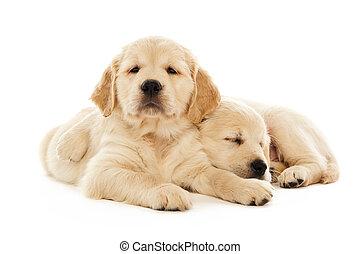 goldener apportierhund, hundebabys