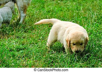 goldener apportierhund, junger hund, in, der, gras