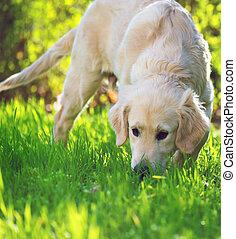 goldener apportierhund, junger hund, in, der, wiese