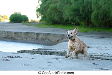 goldener apportierhund, junger hund, läufe, aus, der, sandstrand