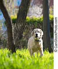 goldener apportierhund, junger hund, läufe, aus, der, wiese