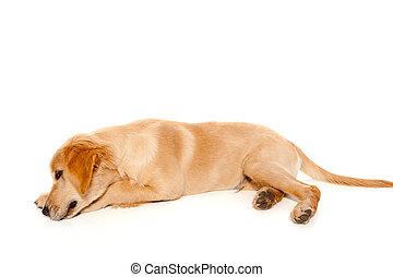 goldener apportierhund, junger hund, reinrassiger hund