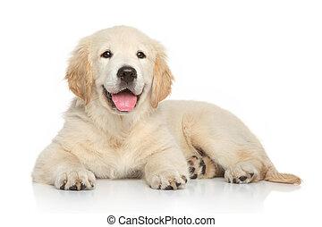 goldener apportierhund, junger hund, weiß, hintergrund