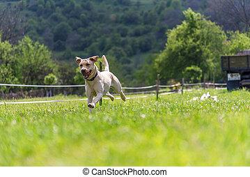 goldener apportierhund, läufe