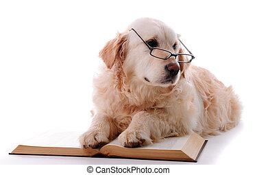 goldener apportierhund, lernen