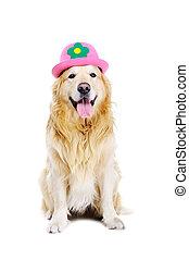 goldener apportierhund, tragen, lustiger hut