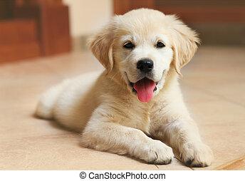 goldener labrador apportierhund, junger hund