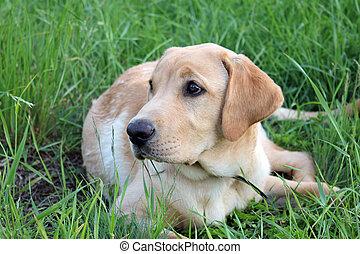 goldener labradorhund