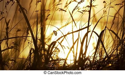 goldener sonnenuntergang, durch, unkraut, schottland, kuesten, echte , 200fps, slowmo, -, eingestuft, version