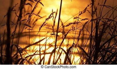 goldener sonnenuntergang, durch, unkraut, schottland, kuesten, -, eingestuft, version