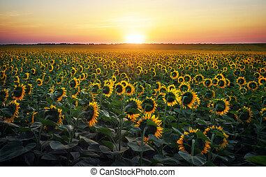 goldenes, abend, sonnenblume, zusammengesetzt, felder, aus, light., gelbes feld, warm, digital, sonnenaufgang, sunflowers.
