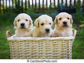 goldenes, Apportierhund, drei, hundebabys
