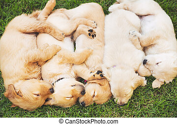 goldenes, Apportierhund, hundebabys