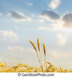 goldenes, aus, Ernte, Sonnenuntergang