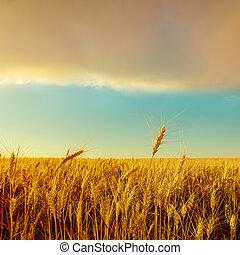 goldenes, aus, Ernte, Sonnenuntergang, Feld
