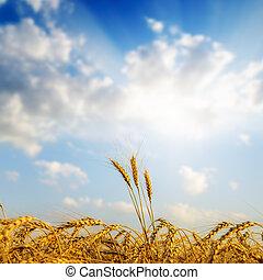 goldenes, aus, Fokus, Sonnenuntergang, Ernte, weich